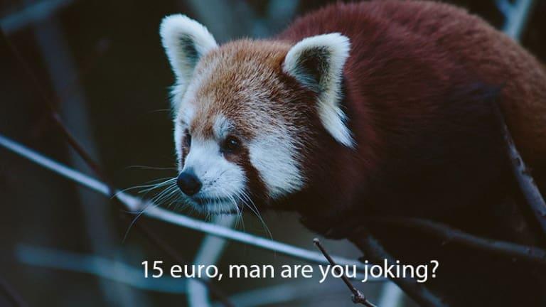 Panda Minore arrampicato su un albero che beve vodka, are joking man?