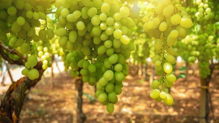 Bombino Bianco vino, vitigno caratteristiche, storia del vino Pagadebit