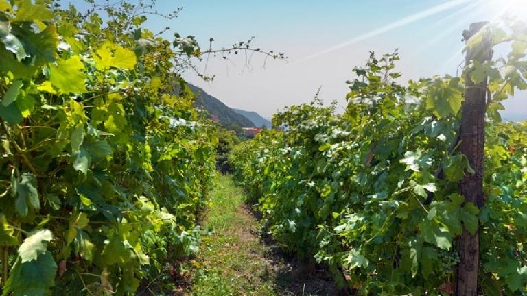 Pigato vino, vitigno caratteristiche, storia, differenze tra Pigato e Vermentino