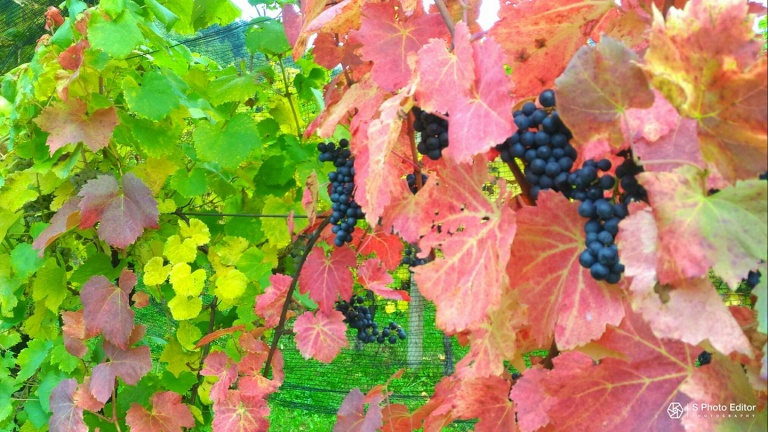 Refosco dal Peduncolo Rosso: all you need to know about a great red wine from